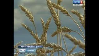Агрономы Россельхозцентра проверяют семеноводческие посевы