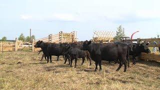 В Кузнецком районе намерены увеличить поголовье коров элитной породы
