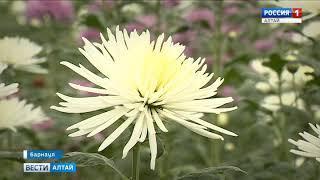 Хризантемы выше человеческого роста расцвели в теплицах Барнаула