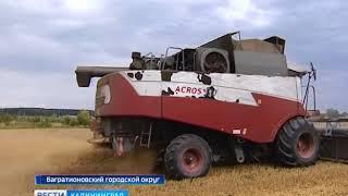 В Калининградской области практически завершили уборку пшеницы