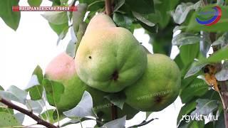 Как хобби стало доходным бизнесом. Дагестанский садовод награжден медалью «Золотой фонд региона»