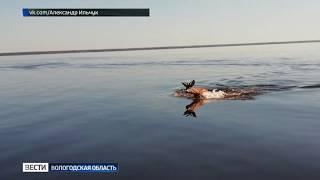На Кубенском озере рыбаки заметили необычного зверя