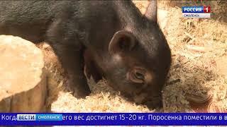 Смоленским экологам подложили свинью. Небольшую такую