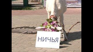 Самарский оракул коза Забияка предсказала исход встречи Дания - Австралия