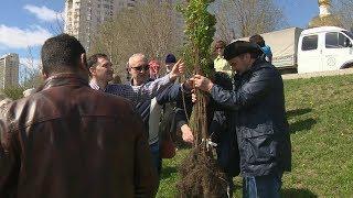 В центре Волгограда высадили сахарные клены