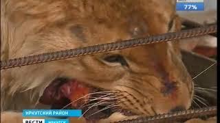 Плохие приключения африканца в Сибири  Истощённого льва спасали в Иркутском районе