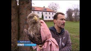 На Куршской косе выпустили на волю белохвостого орлана