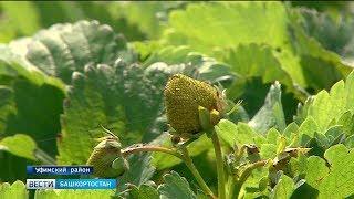 Урожай в Башкирии оказался под угрозой