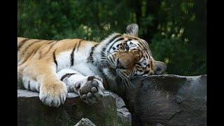 В поисках тигров убили медведя