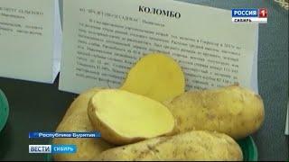 В Бурятии начали собирать урожай картофеля