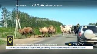Стадо верблюдов стало причиной затора на трассе в Башкирии