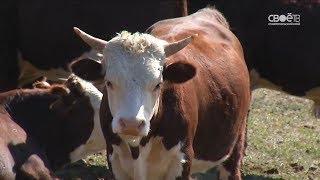 Производство молока на Ставрополье вырастет на 40 процентов через 3 года
