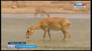 В Астраханской области борются за поддержание численности сайгаков