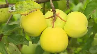 Яблоневый сад в Зауралье