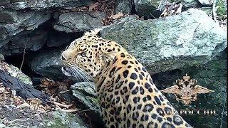 Полицейские в Приморском крае дали имя дальневосточному леопарду