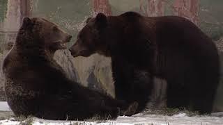 В Ярославском зоопарке медведи готовятся к зимней спячке