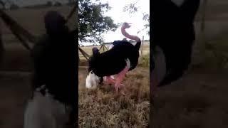 Жёсткий тип оседлал страуса!!!