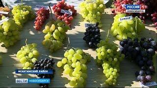 Садовод из Искитимского района собрал на своем участке урожай 130 сортов винограда