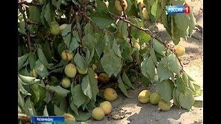 Старая абрикоса оставила десятки ростовчан без трансляции матча Россия - Испания