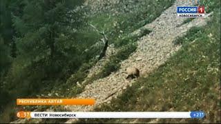 Новосибирский путешественник снял на видео медведя