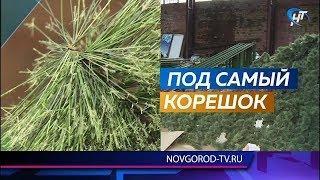 В Великом Новгороде купят новую главную елку