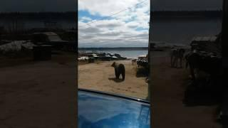 В Печоре на медведей начали устраивать засады