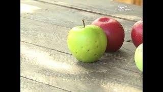 Новинки зимних сортов яблок. Удачные заметки от 23.10.2018