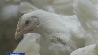 В Каменском районе зафиксировали вспышку птичьего гриппа