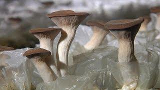 «Край аграрный». Индюки и грибы