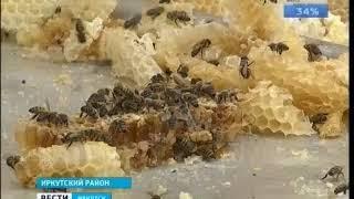 Грозит ли Иркутской области массовая гибель пчёл