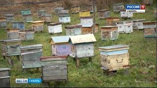 Алтайские пчёлы ложатся спать на месяц позже обычного