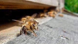 Германия в борьбе с природной катастрофой: как спасти пчел и мировую экологию