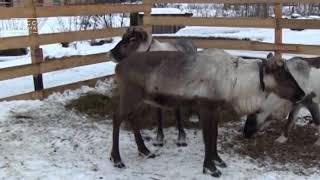 Безотходное оленеводческое хозяйство появится на Камчатке | Новости сегодня | Происшествия