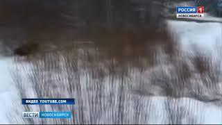 Лоси вышли на загородные трассы Новосибирской области