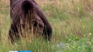 В Красноярске объявлен отстрел медведе